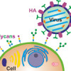 Ultrasensitive detection of influenza viruses by glycan biosensors