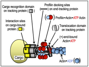 Fig. 2. Cartoon showing the features of actoclampin motors, wherein an oligomeric end-tracking protein complex (shown in gray) maintains its purchase on the cargo-bound protein and has a force-generating link to the (+)-end of an elongating actin filament. Cargo includes: the cell's leading edge (lamellipodium), a finger-like cell extension (filopodium), an invasive cell protuberance (invadipodium), a membrane vesicle (endosome or phagosome), or an intracellular pathogen (Listeria, Shigella, vaccinia, myxovirus, etc.). In the case of Listeria monocytogenes, 80-100 end-tracking motors form a propulsive ensemble.
