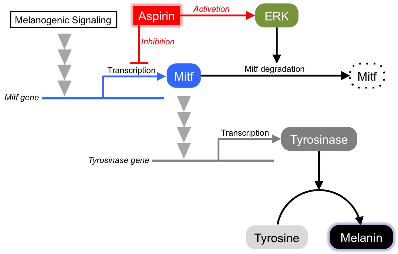 Prostaglandin,melanogenesis에 대한 이미지 검색결과