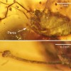 A harvestman penis in amber