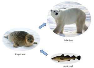 Fig. 1. Arctic marine food chain