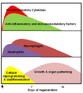 Fig. 1. Expression profiles after amputation (arrow) of cytokines and other inflammation-related factors, the major immune cells, and the major regeneration-specific events during the course of limb regeneration in larval amphibians.