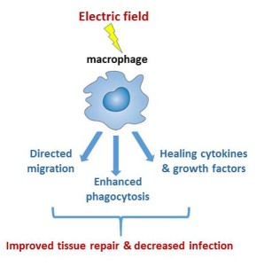 Fig. 1. Electric fields, naturally occurring in wounded tissue, or clinically applied, can lead to directed migration of macrophages to wound edges, enhance phagocytosis of cell debris, dead and dying cells and microbes, and increase secretion of healing cytokines and growth factors to enhance tissue repair and reduce infection.