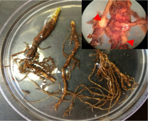 Fig. 1. Cotton root infected with M. incognita. Galls can be observed and adult females (arrow) was found in galls.