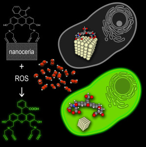 Fig. 1. Nanoceria-calcein complex is decomposed by ROS releasing luminescent dye.