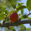 Does the ethnomedicinal uses of the sour plum tree correlate with its ethnopharmacological properties?