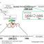 β-Carotene requirement for anti-aging depends on genetic background