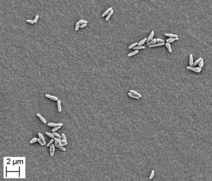 Fig. 1. Scanning electron micrograph of Corynebacterium uropygiale.