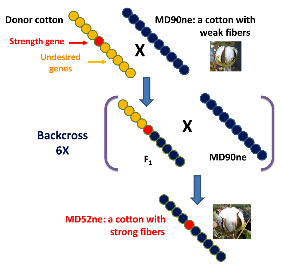 unravel the key genes potentially related to high strength of development of near isogenic cotton lines md 52ne and md90ne that are genetically almost similar but differ in fiber strength
