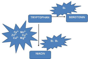 Tryptophan metabolism along the niacin pathway and serotonin pathway.