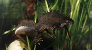 Fig. 1. The Italian crested newt (Triturus carnifex).