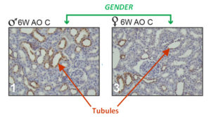 Fig. 1. Expression of NOS 2 is higher in tubules of males (♂) on the antioxidant diet (AO) (Panel 1) than in females (♀) on the AO diet (Panel 3) at 6 weeks of age.