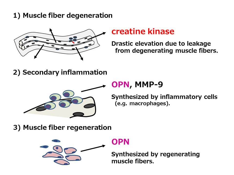 serum osteopontin as a novel biomarker for muscle regeneration in, Muscles