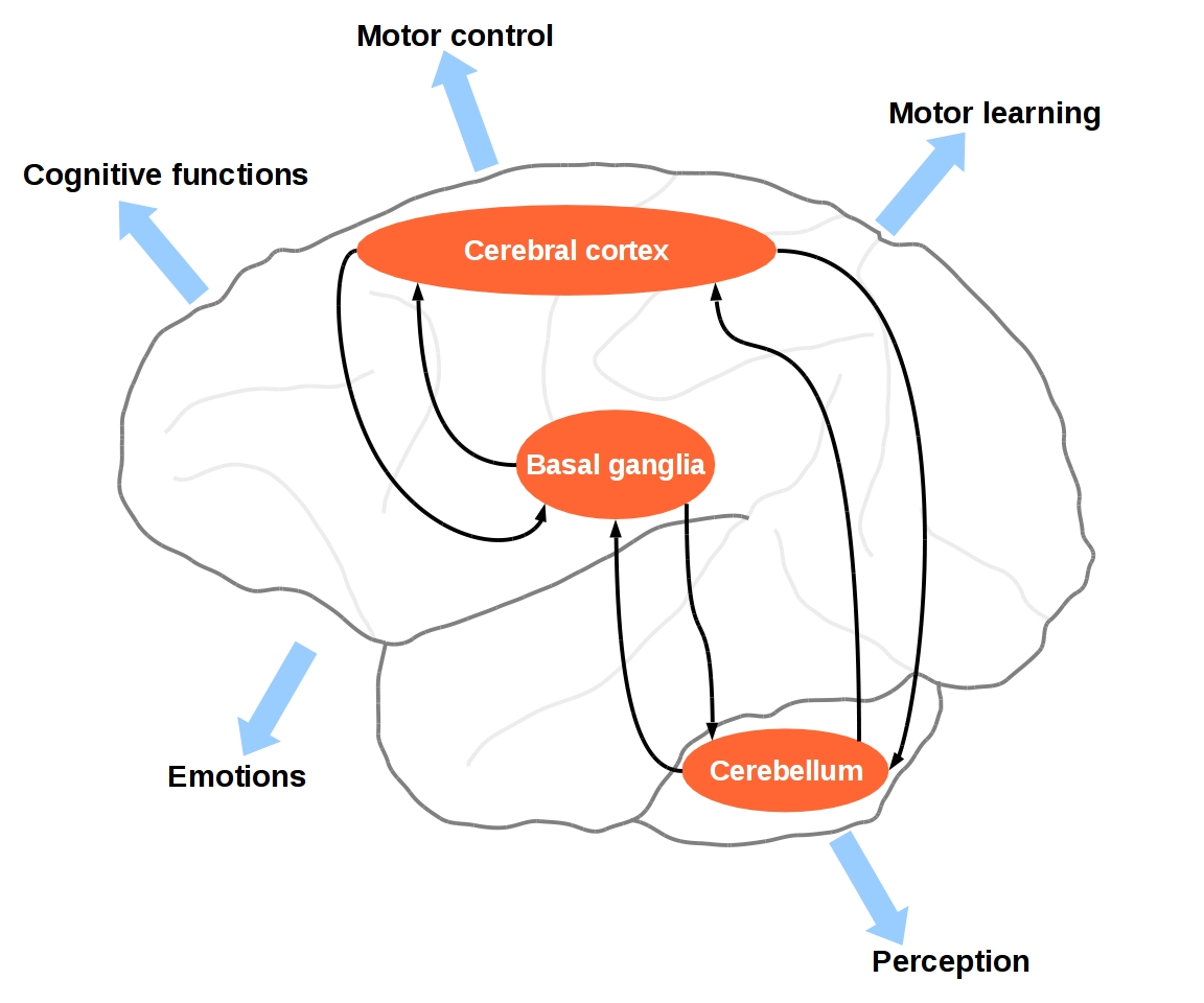 A Systems Level View Of Cerebellar Function The Interplay Between