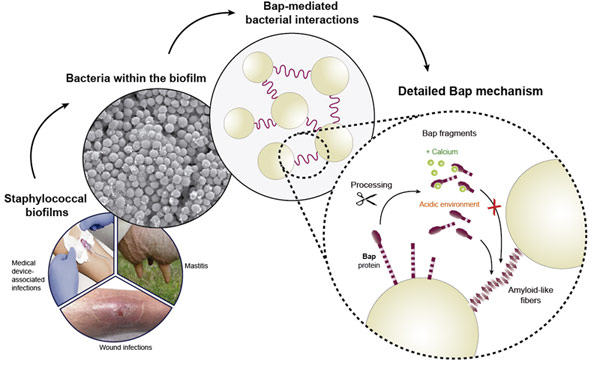 "Staphylococcal biofilms: building up ""bacterial cities"" through a proteinaceous matrix scaffold"