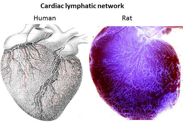 Lymphatic drainage of the heart