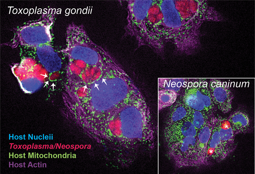 Toxoplasma gondii and Neospora caninum (inset). Human primary placental trophoblast cells