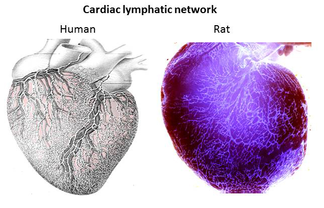 How are the walls of the human heart adapted for their functions?