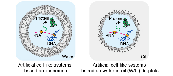Fig. 1. Schematic illustration of artificial cell-like systems based on liposomes (left) and water-in-oil (W/O) droplets (right).