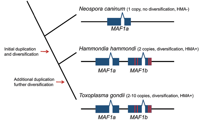 Model for the evolution of HMA in Hammondia hammondi and Toxoplasma via gene duplication.
