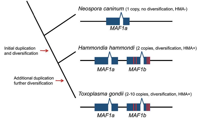 Model for the evolution of HMA in Hammondia hammondi and Toxoplasma via gene duplication.