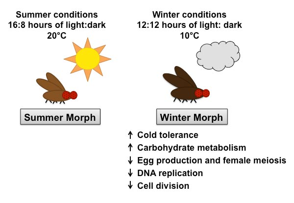 Different morphs for different seasons: Seasonality of an insect invader
