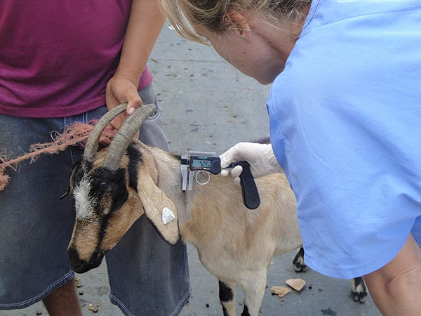 Brucellosis, tuberculosis and caprine arthritis-encephalitis, are goats and sheep in El Salvador affected?