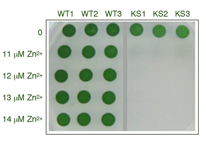 Improved biosafety of genetically modified cyanobacteria