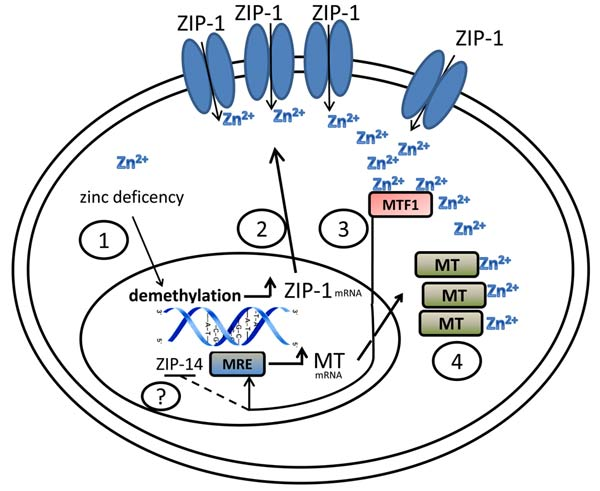 Zinc homeostasis in myeloid cells is regulated by epigenetic mechanisms