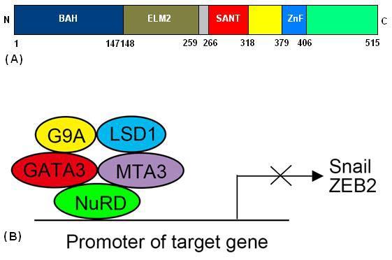 MTA3: A master coregulator of physiology and oncogenesis