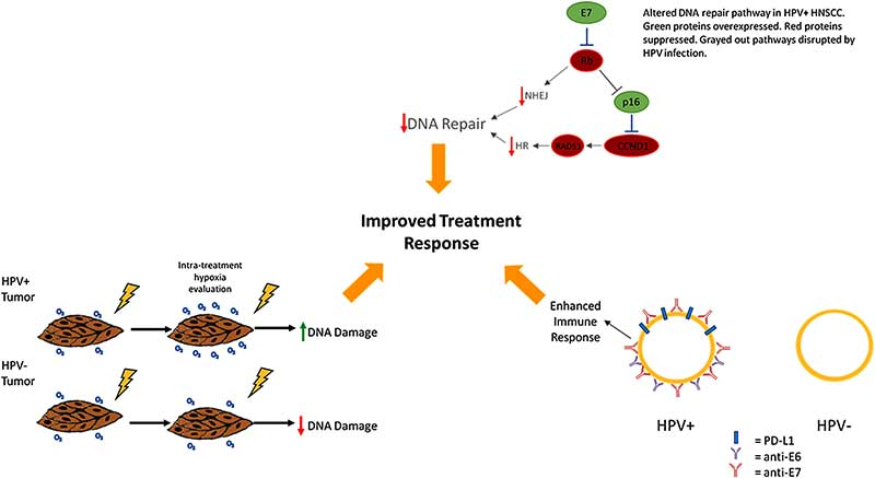 Why is radiation treatment more effective for cancers caused by HPV?