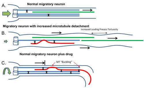 Microtubules slide neurons home