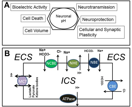 Verapamil and a loop diuretic modestly reduce the intracellular pH of cortical neurons: a contribution to their anti-seizure potency?