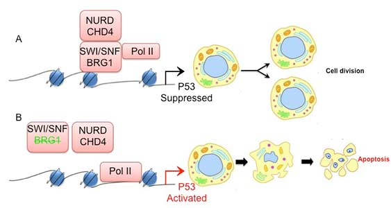 Is chromatin remodeling required to modulate embryonic development?