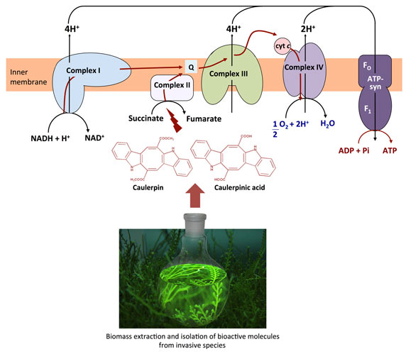 Metabolites from invasive pests: a threat to the functioning of marine ecosystems and an opportunity for the treatment of ovarian cancer