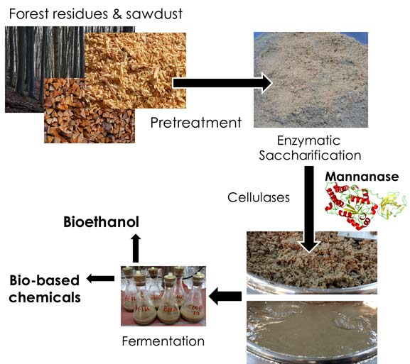 A thermotolerant mannanase improves lignocellulose degradation for bioethanol production