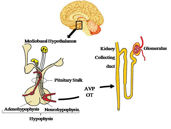Oxytocin and human Central Diabetes Insipidus in relation to the different hydromineral animal models