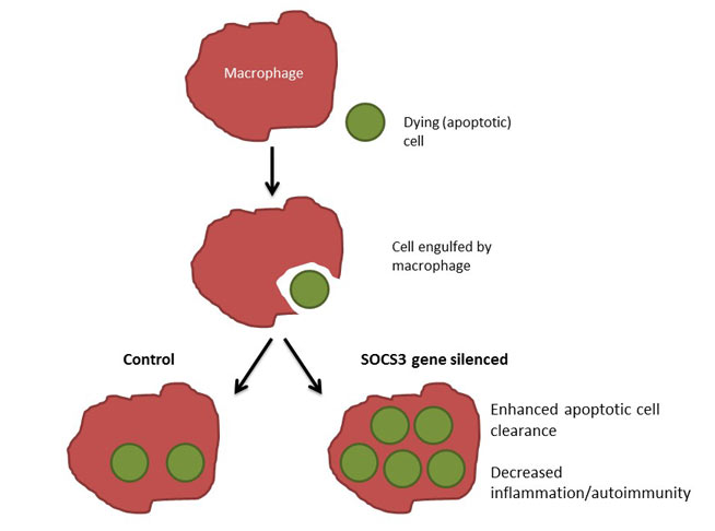 Modulation of SOCS3 in macrophages can enhance the clearance of dying cells in inflammation