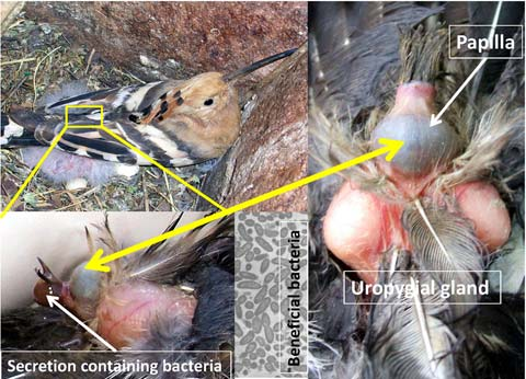 Hoopoes modulate their alliance with beneficial bacteria along the nesting phase
