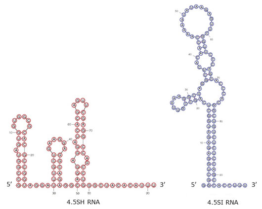 Cellular level and lifetime of a small RNA increase in response to heat shock