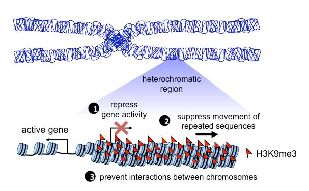 Role of heterochromatin in establishing and changing cell fate