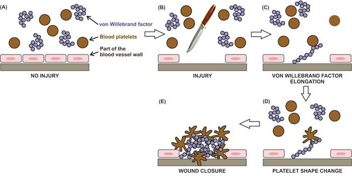 Von Willebrand factor – the blood vessel plumber