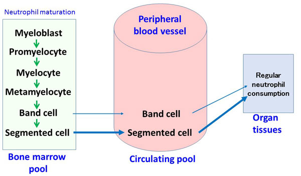 Bacterial infection can be diagnosed and the severity evaluated using WBC count and left shift