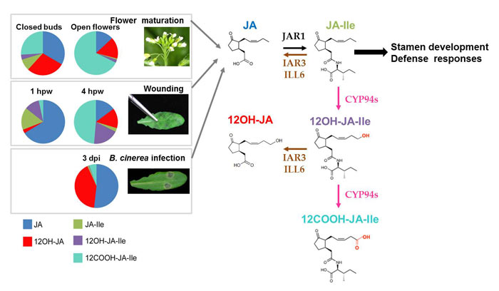 Landscapes of jasmonates during flower development and leaf stresses