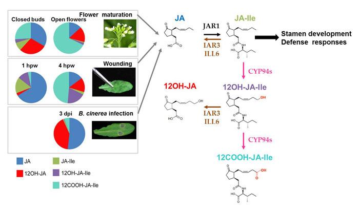 Landscapes of jasmonates during flower development and leaf stresses
