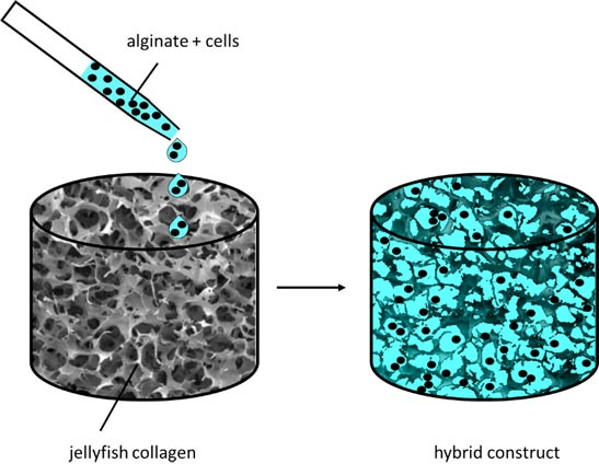 Jellyfish meets algae – two marine materials enabling adult stem cells to heal cartilage defects