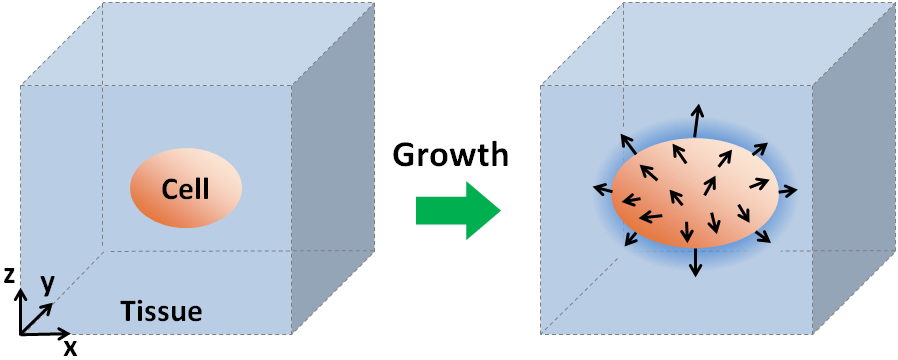 Schematic of the growth force. When a cell grows in tissue