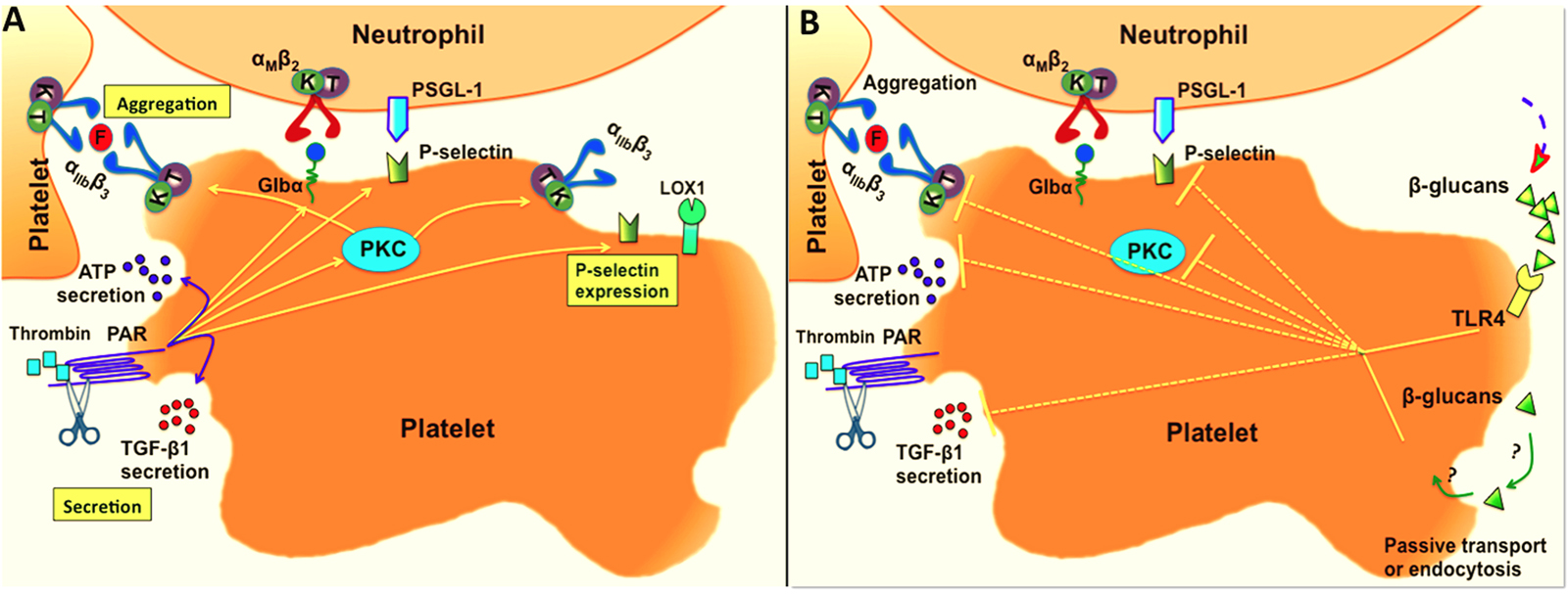 Schematic overview showing the effect of glucan fractions on platelet activities. Thrombin interacts