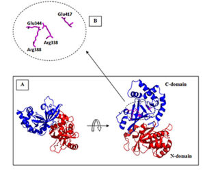 Fig. 1. The 3D-model model of Vip2S showing the presence of two domains: N-domain (in red) and C-domain (in blue) (A). Close-up view of conserved residues in the active site cleft of C-domain (B).