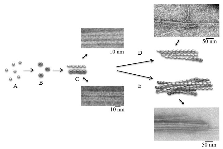 the mechanism of formation of amyloid fibrils for insulin and LisPro insulin.